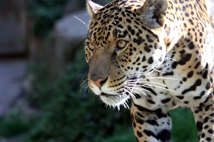 Jaguar by A_Wilson. CC BY-NC-ND 2.0
