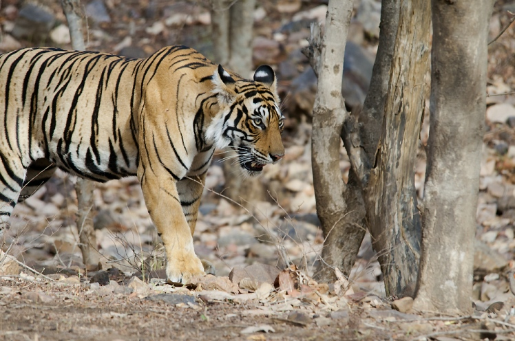 Tigers were wiped out in Sariska Tiger Reserve due to poaching and isolation. Bubbly, shown here, was one of the tigers later relocated to Sariska to repopulate it. Bubbly, Female Tiger by Koshy Koshy. CC BY 2.0