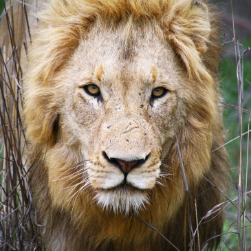 Lion, Kruger Park, South Africa by Dimitry B. CC BY 2.0