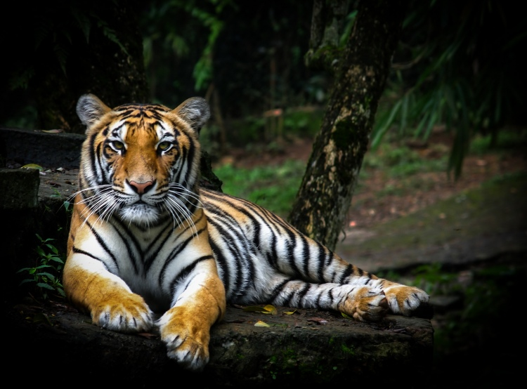 The above threats are significant, but they are not insurmountable. In 2010 all 13 tiger range countries vowed to double global tiger numbers by 2022 (GTRP 2011). Sumatra Tiger by Dupan Pandu. CC BY 2.0