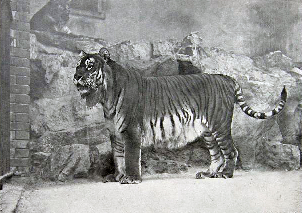 Three tiger subspecies, such as the Caspian tiger, are already extinct. A fourth is almost certainly extinct in the wild. Panthera tigris virgata by Unknown. Public domain.