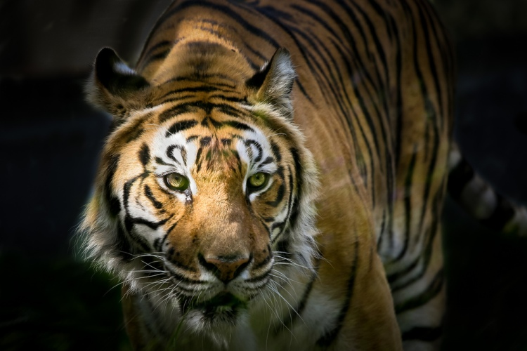 Tiger and Light by Patrick Bouquet. CC BY-NC-ND 2.0