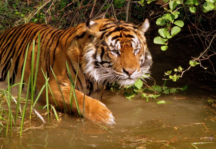 Tigers may be fond of water, but they are reluctant to cross human-dominated terrain. Tiger by Catlovers. CC BY-SA 2.0