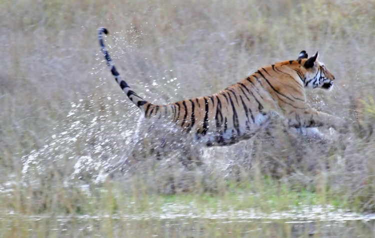 Yumnam et al. (2014) found that Bandhavgarh's tigers were already cut off from the other populations in central India. This should be addressed quickly. Tiger Leaping from the Shallows in Bandhavgarh by Ian Duffy. CC BY-NC 2.0