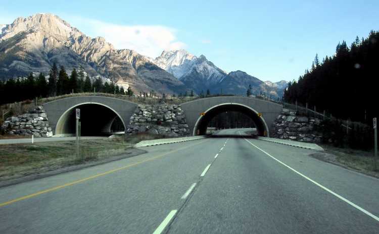 Wildlife overpasses like this one in Canada can help maintain connectivity by making it safe and easy for animals to cross busy roadways. Trans-Canada Wildlife Overpass by Qyd. CC BY 2.5
