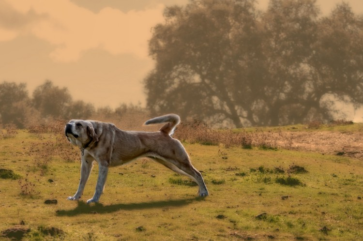 Anatolian Shepherds make excellent livestock guarding dogs. Having a Stretch Anatolian Shepherd by Steve Slater. CC BY 2.0