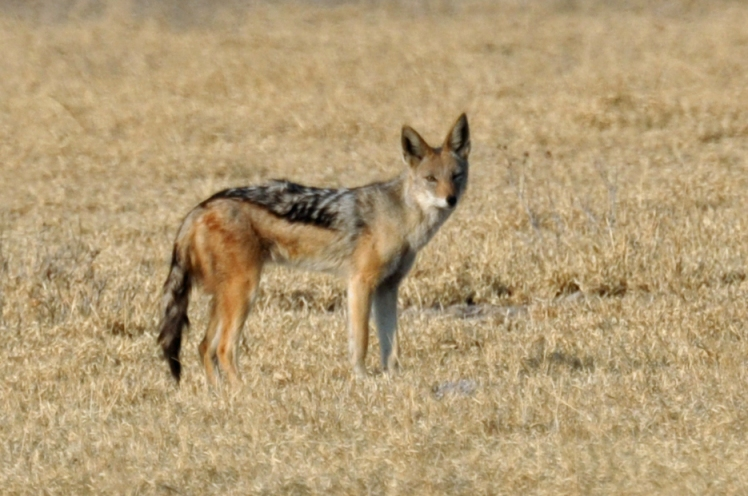 Potgieter (2011) found that jackal mortality increased after LGDs were introduced, because both the dogs and farmers killed them. Botswana Day 3 107 Jackal by John Karwoski. CC BY-NC-ND 2.0