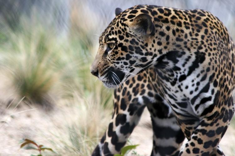 Jaguar by Quinn Dombrowski. CC BY-NC-SA 2.0