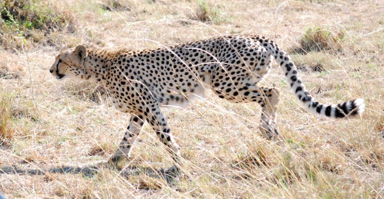 Livestock-related conflict is a major problem for cheetahs in some areas. Cheetahs by John Schinker. CC BY-NC-SA 2.0