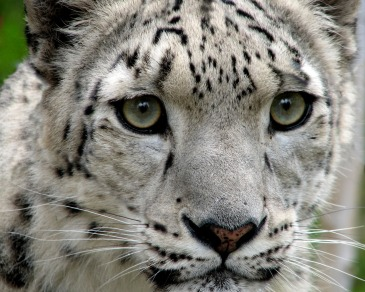 Snow Leopard by Tim Williams. CC BY-NC-SA 2.0