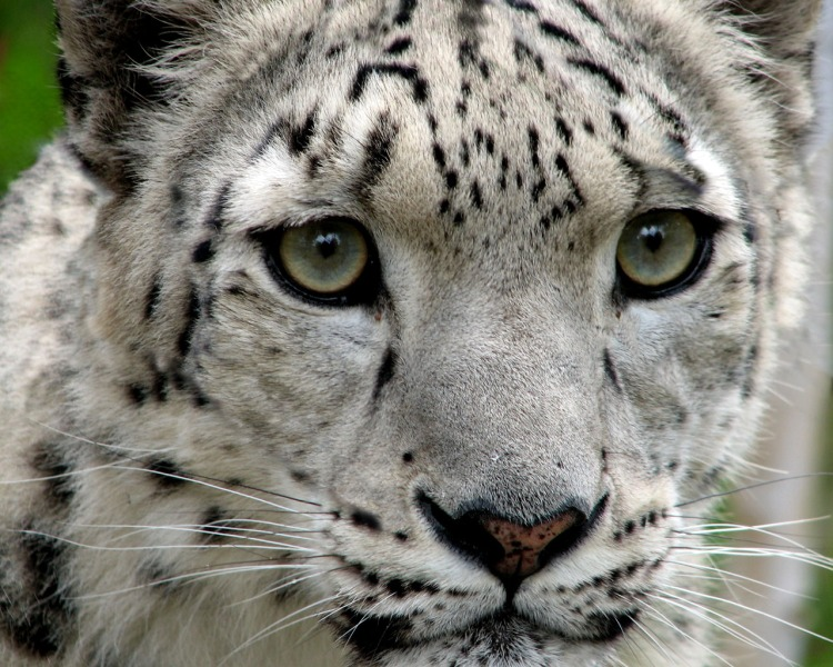 Snow Leopard by Tim Williams. CC BY-NC-SA 2.0