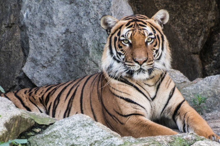 Tiger by Angelo Antonelli. CC BY-NC-ND 2.0.