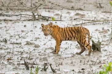 Plans are underway to build a coal-fired plant inside the Sundarbans mangrove forest, home to tigers like this cub. Tiger Cub | Sunderban Tiger Reserve by  Arindam Bhattacharya. CC BY-NC-SA 2.0