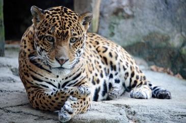 Jaguar by Eric Kilby. CC BY-SA 2.0