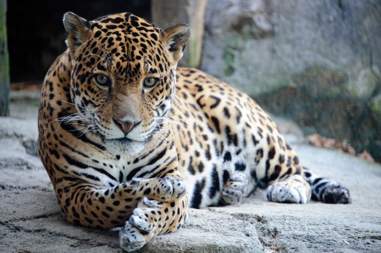 Jaguar by Eric Kilby. CC BY-SA 2.0