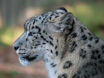 Snow Leopard by William Warby. CC BY 2.0