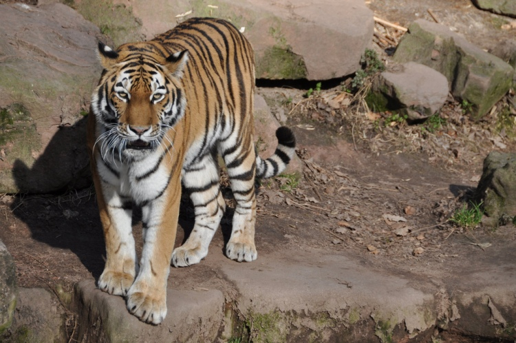 Tiger (2011) by Marcus Meissner. CC BY 2.0