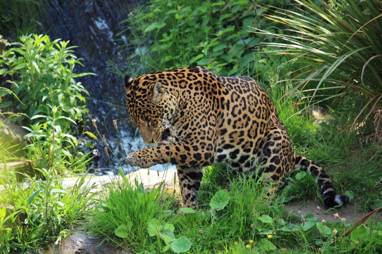 A jaguar licking its paw.