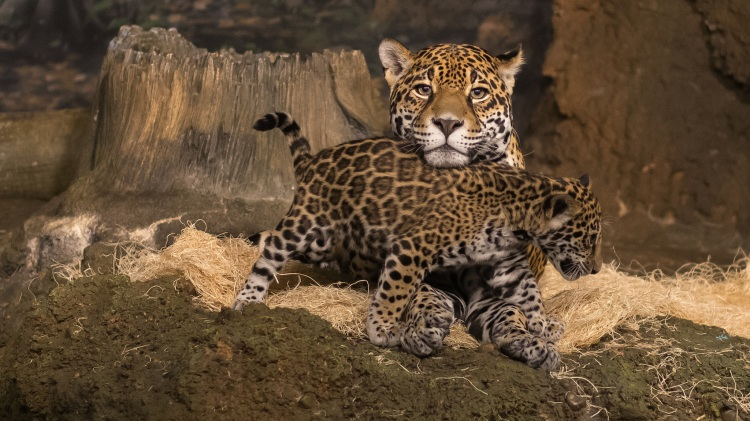 Mother Jaguar and Cub by Jim Bauer. CC BY-ND 2.0