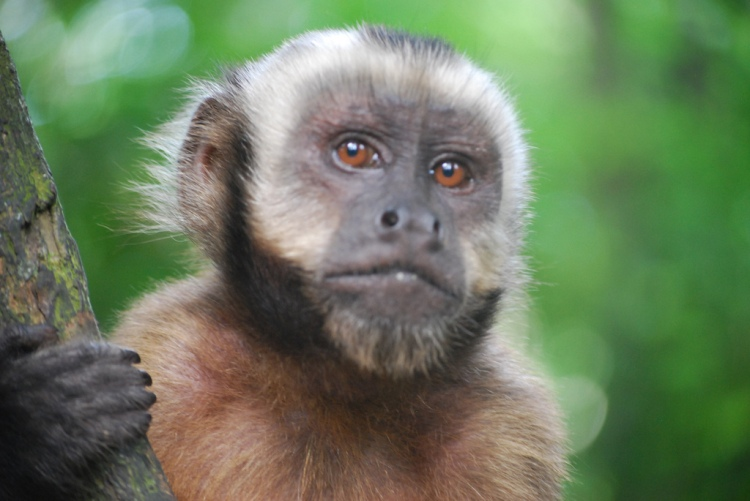 What do humans and capuchin monkeys have in common (besides a lot)? According to Egan, Santos, and Bloom (2007); we both experience cognitive dissonance. Capuchin Monkey closeup by Ivan Mlinaric. CC BY 2.0