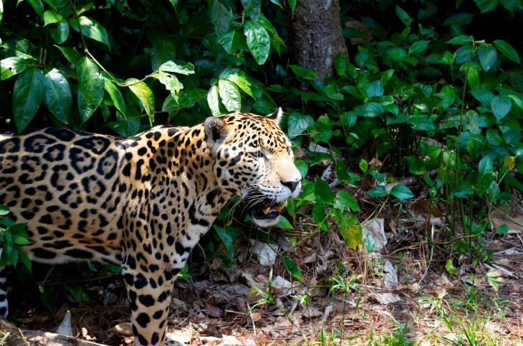 Jaguar by diogeneshamilton. CC BY-NC-SA 2.0