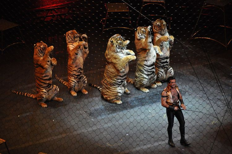 The exploitation of big cats for profit is a topic the ICARUS team frequently writes about on their blog. Ringling Brothers over the top Tiger by chensiyuan. GFDL.
