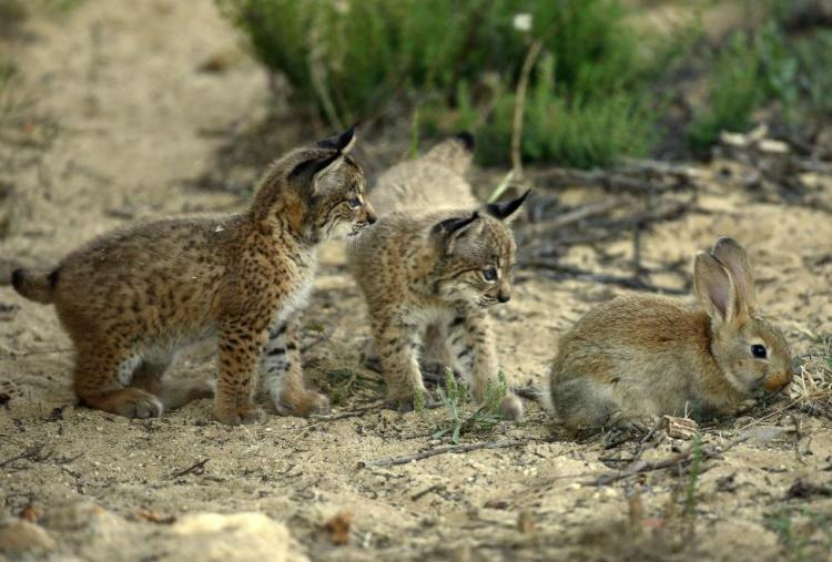 Two Iberian lynx cubs from the captive breeding program investigate a European rabbit (Oryctolagus cuniculus), on which their species almost totally relies. Iberian Lynx Cubs Investigate Their Future Prey by http://www.lynxexsitu.es. CC BY 3.0 ES