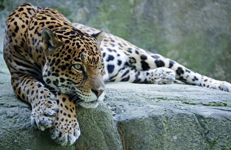 Jaguar - Stretched by Eric Kilby. CC BY-SA 2.0