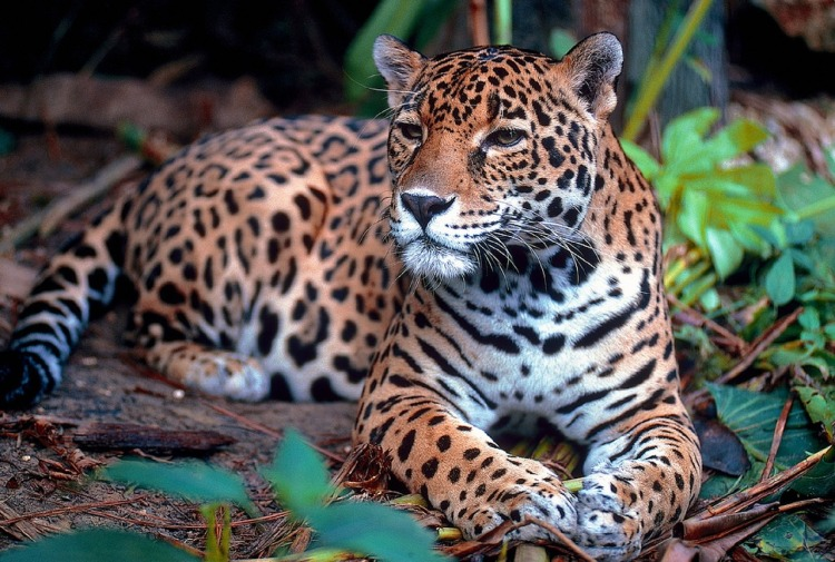 Jaguar by Skeeze. CC0 Public Domain.
