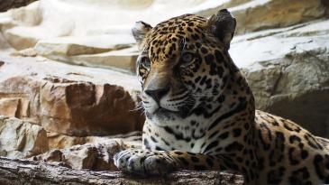 Jaguar by JakeWilliamHeckey. CC0 1.0 Public Domain.