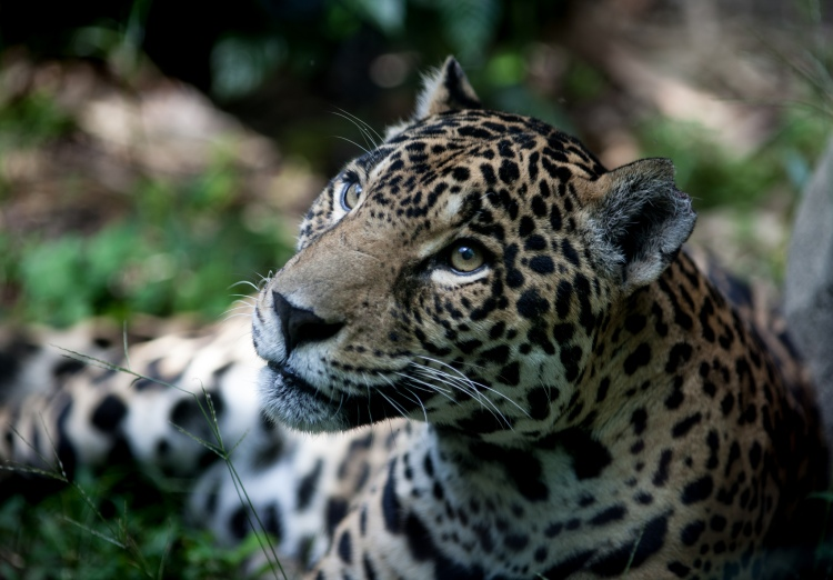 Jaguar by Eduardo Merille. CC BY-SA 2.0