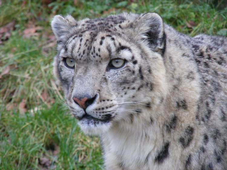 Snow Leopard by Marie Hale. CC BY 2.0