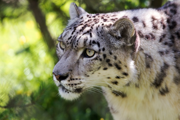 Snow Leopard Whiskers by Steven Vacher. CC BY-NC-ND 2.0