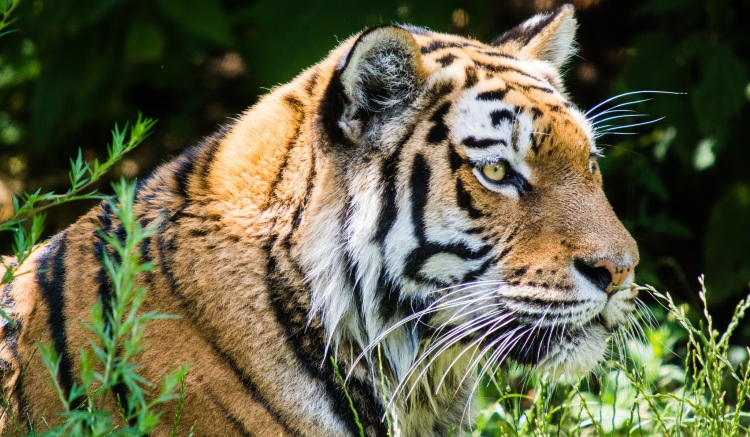 Tiger by Soren Wolf. CC BY-ND 2.0