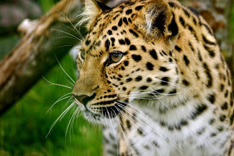 The Amur leopard is one of the most beautiful, and threatened, cats in the world. Amur Leopard by jeffna. CC BY-NC-SA 2.0