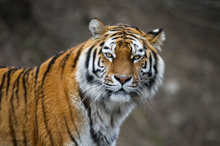 Amur tiger by Cloudtail the Snow Leopard. CC BY-NC-ND 2.0