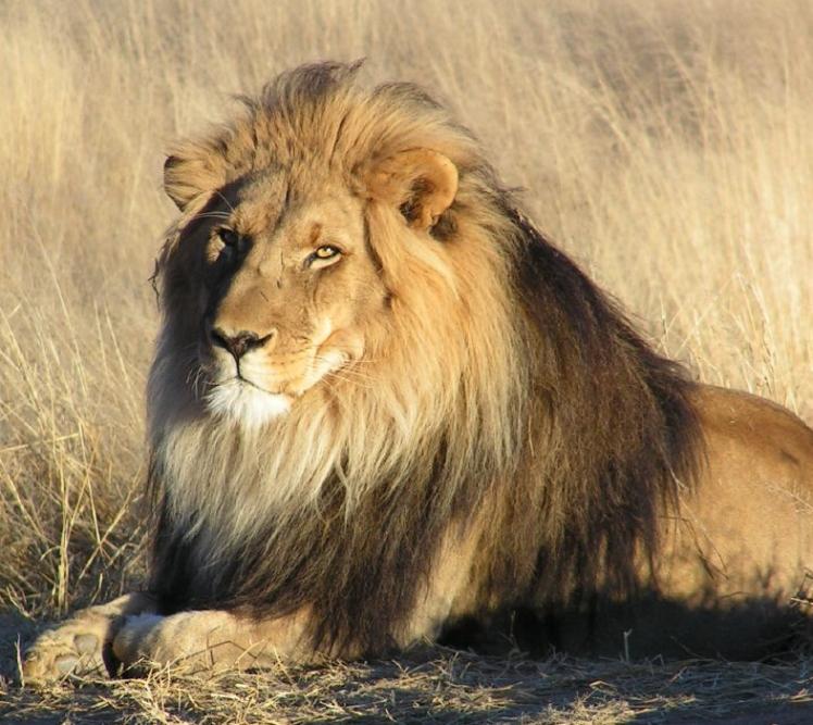 Lion by AJC1. CC BY-SA 2.0