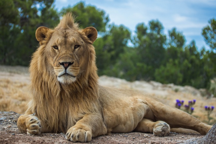 Dr. Packer called attention to the fact that a large number of immature male lions are now being killed to satisfy the trophy hunting demand. Lion by Pauline Guilmot. CC BY-NC-ND 2.0