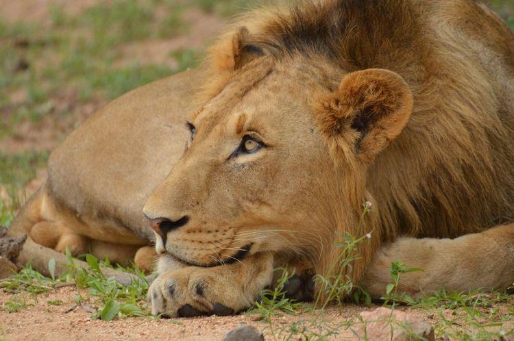 Lion by Arno Meintjes. CC BY-NC-SA 2.0