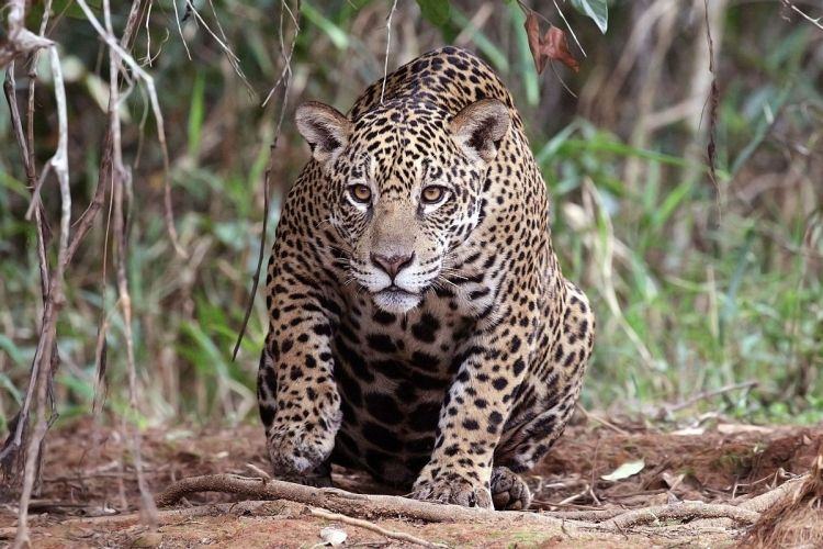 Jaguar (Panthera onca palustris) female, Piquiri River, the Pantanal, Brazil by Charles J. Sharp. CC BY-SA 4.0