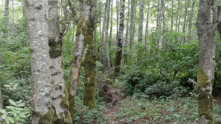 A strip of riparian woodland along the Mattole River.