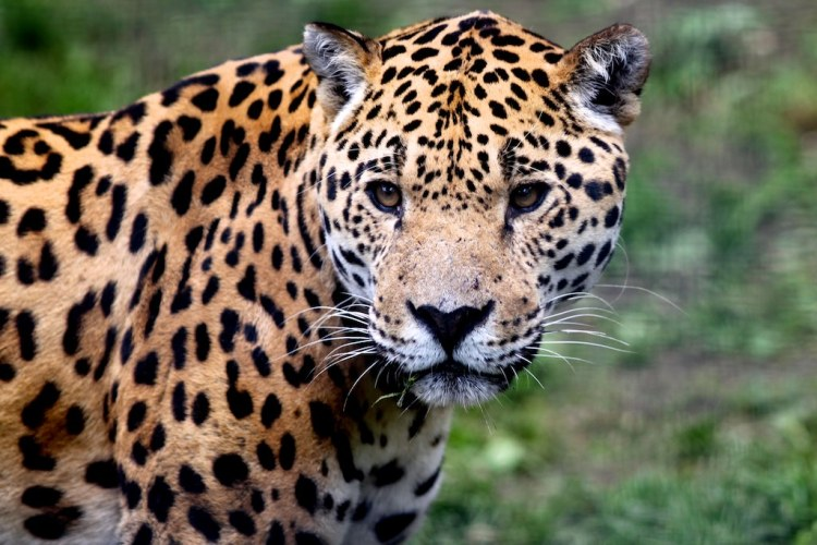 Jaguar by Michael Ransburg. CC BY-NC-ND 2.0