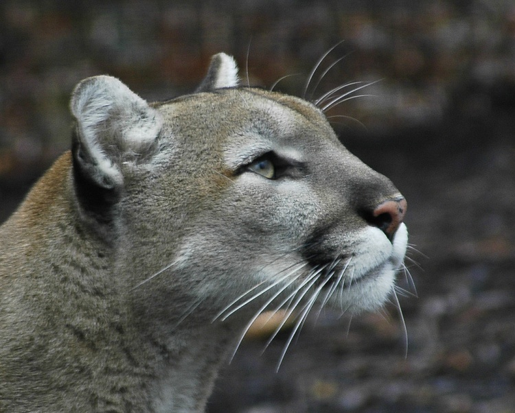 Cougar by Valerie. CC BY-NC-ND 2.0