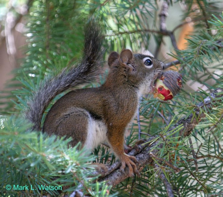 The red squirrels outside the headquarters of the Mattole Salmon Group were very distracting! Red Squirrel by Mark Watson. CC BY-NC-ND 2.0