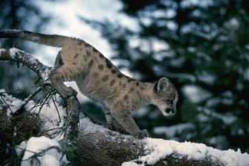 Mountain Lion (Felis concolor) Kitten by the California Department of Fish and Wildlife. CC BY 2.0