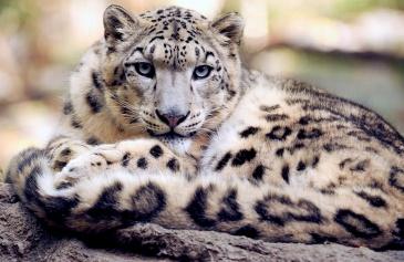 Snow Leopard by Jean Beaufort. CC0 1.0 Public Domain.