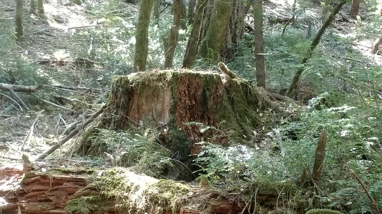 An old stump from the forest surrounding Baker Creek.