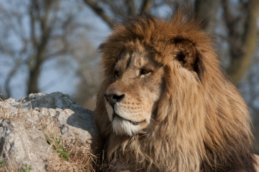 Lion 02 by Fabio Bretto. CC BY-NC-ND 2.0