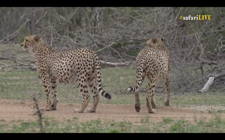 Another screenshot from Wild Safari Live. No I am not being paid to advertise for them.