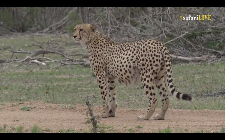 A screenshot of a beautiful cheetah on Wild Safari Live. Watch at www.wildsafarilive.com.